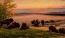 Buffalo Swimming the Missouri
