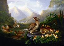 Pennated Grouse or Prairie Hens