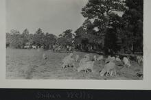 Group of sheep grazing in a field near a tree line