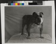 Studio Portrait of Bulldog