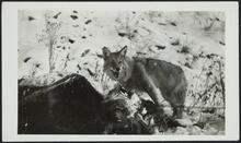 Coyote Eating Cow