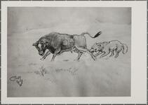 Coyote Chasing Steer
