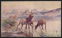Elk in Lake McDonald