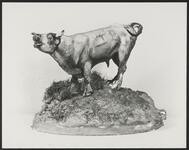 Bellowing Steer