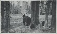 Bear with Two Cubs