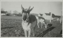 Two Pronghorn Antelope