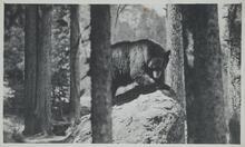 Bear on Rock