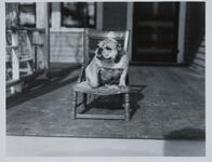 Bulldog on Chair