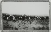 Unknown Man on Horse with Cattle
