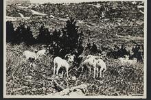 Mountain Sheep