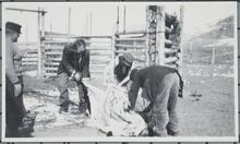 Men Butchering Animal