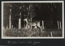 White Tail Fawn