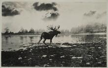 Moose by Water