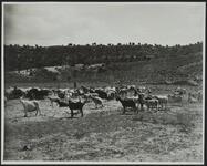 Goats at Keams Canyon