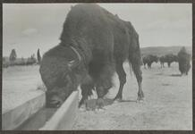Buffalo Drinking from Trough