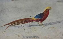 Print of Golden Pheasant