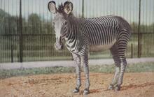 Print of Grevey Zebra