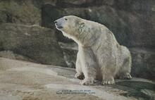 Print of Polar Bear