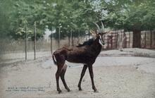 Print of Sable Antelope