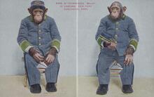 Print of Chimpanzee Baldy with Uniform