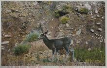 Postcard of Blacktail Deer