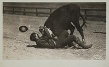 Postcard of Man Wrangling Cow