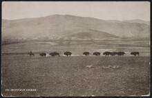 Postcard with Running Buffalo